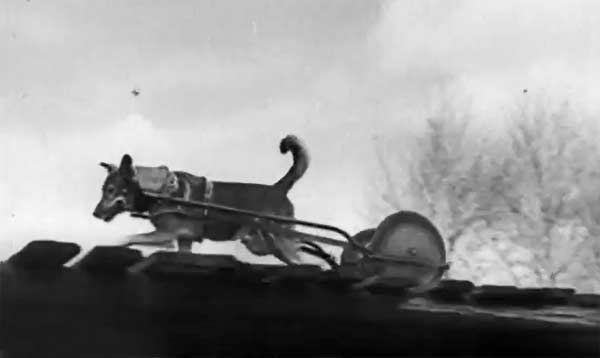 pies w służbie łączności 1939
